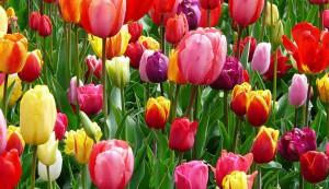 A sokszínű tulipán - ültetése