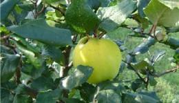 Az ősz gyümölcse a birs