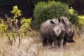 Fekete rinocérosz