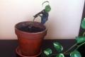 Babérsom - feketedő levelek
