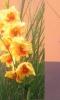 Kardvirág (Gladiolus)