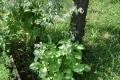 Gyógynövények királynője, a borágó