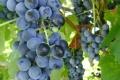 Érik a szőlő, készül a bor