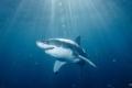 A nagy fehér cápa